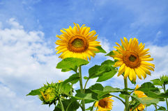 Sunflower, summer flowers Royalty Free Stock Image