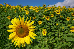 Sunflower summer landscape. Summer perspective landscape with sunflower field with one flower close up with a bee Stock Photos