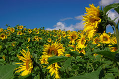 Sunflower summer landscape. Summer perspective landscape with sunflower field and few flowers close Stock Image