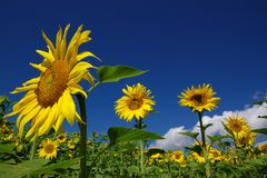 Sunflower summer landscape. Summer perspective landscape with sunflower field and few flowers close Royalty Free Stock Image