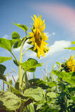 Sunflower in the summer Stock Photography