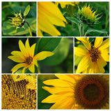 Sunflower. Summer sunflower in Slovakia. Agricultural crop. Flower with yellow petals and green leaves Royalty Free Stock Photo