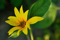 Sunflower. Summer sunflower in Slovakia. Agricultural crop. Flower with yellow petals and green leaves Royalty Free Stock Images