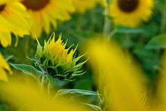 Sunflower. Summer sunflower in Slovakia. Agricultural crop. Flower with yellow petals and green leaves Stock Image