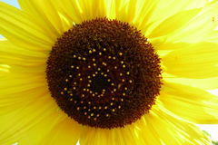 Sunflower. In the summer sun Royalty Free Stock Image