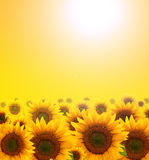 Sunflower. Summer sun over the sunflower field royalty free stock image