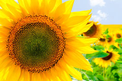 Sunflower in the summer sunny day Stock Images