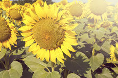 Sunflower in summer sunny day. Royalty Free Stock Photos