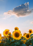 Sunflower Summer Sunset landscape with blue skies. Blue sky landscape of Summer sunset sunflower field Stock Photography