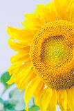 Sunflower in summer. Royalty Free Stock Image