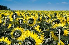 Sunflower, Summer, Yellow, Flora Stock Photos