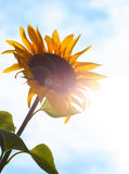 Sunflower in the sun Royalty Free Stock Photo