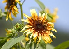 Sunflower in the sun. Beautiful sunflower in full sun with bee sitting on it, blue sky in background royalty free stock images