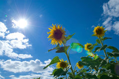 Sunflower in the sun Stock Photography