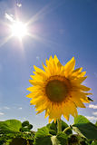 Sunflower and sun Royalty Free Stock Image