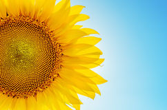 Sunflower sun against Stock Photo