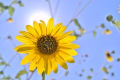 Sunflower with sun behind Stock Images