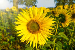 Sunflower in sun on a field Royalty Free Stock Images