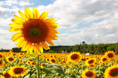 Sunflower. Sun flower garden with blue mountain and sky at background Royalty Free Stock Photo