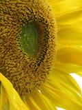 Sunflower, sun flower, sonnenblume. Yellow sun flower full Sonnenblume Royalty Free Stock Photo