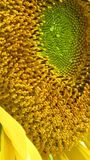 Sunflower, sun flower, sonnenblume. Yellow sun flower full Sonnenblume Royalty Free Stock Images