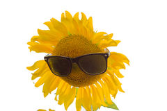 Sunflower in sun glasses Royalty Free Stock Images