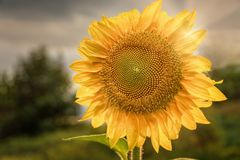 Sunflower in the sun. Sunflower in the rays of the setting sun. Agriculture, a separate sunflower flower Royalty Free Stock Photo