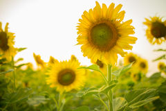 Sunflower. Stock Photography