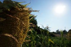 Sunflower with sun stock photo