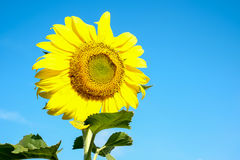 Sunflower. Sun tolerance and the courage to face the sun Royalty Free Stock Photos