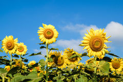 Sunflower. Sun tolerance and the courage to face the sun Royalty Free Stock Photography