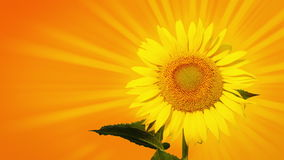 Sunflower with sunbeams Stock Image