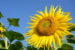 Close up on beautiful Sunflower as a concept of sunflower oil industry Royalty Free Stock Photography