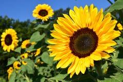 Sunflower, Sunflower Field, Yellow Stock Photography
