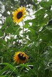 Sunflower. & x28;Latin: Helianthus annuusL.& x29; is an annual herb of Compositae . The height is 1 to 3.5 meters high. Stem erect, round, many angular, hard Royalty Free Stock Image