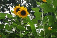 Sunflower. & x28;Latin: Helianthus annuusL.& x29; is an annual herb of Compositae . The height is 1 to 3.5 meters high. Stem erect, round, many angular, hard Royalty Free Stock Images