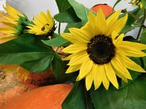 The sunflower. Is one of the best known plant on the world. It is beauty and give us seeds who we eat stock photography