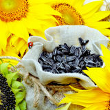 Sunflower and sunflower seeds in sackcloth bag. Royalty Free Stock Photos