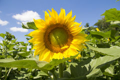 Sunflower 3. Sunflowers against the sky in the sunshine Stock Photography