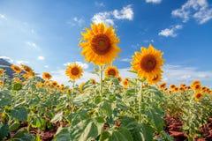 Sunflower. S on bluesky background Stock Photos
