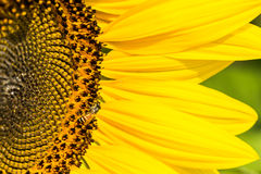 Sunflower. S with Bumble Bee collecting nectar and pollen of flowers mixed Royalty Free Stock Images