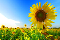 Sunflower. S in the field Royalty Free Stock Photo