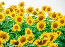 Sunflower. S in the field Stock Images