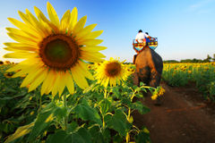Sunflower. S in the field Royalty Free Stock Image
