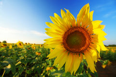 Sunflower. S in the field Royalty Free Stock Images