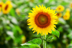 Sunflower. S in field Royalty Free Stock Images