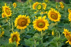 Sunflower with the sunflowers field in background. royalty free stock image