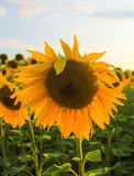 Sunflower. S field near Kharkiv (Ukraine Stock Photos