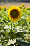 Sunflower. S in the foreground with shallow focus Stock Photos