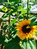 Sunflower. S in our Royalty Free Stock Images